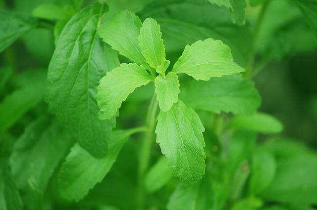 rostlinka stevia